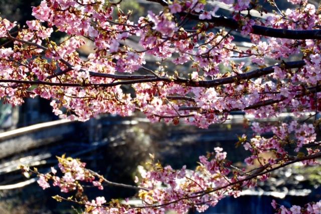 Körsbärsblommor i Kungsträdgården, eller fira Hanami